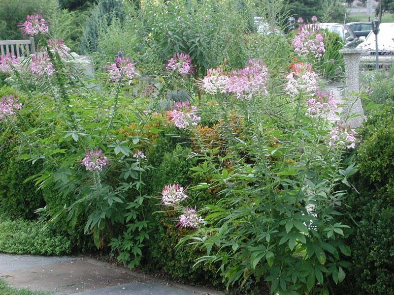 http://www.nlm.nih.gov/about/herbgarden/images/cleome.jpg