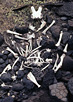 White goat bones are strewn across black, volcanic rock and scrubby grass.