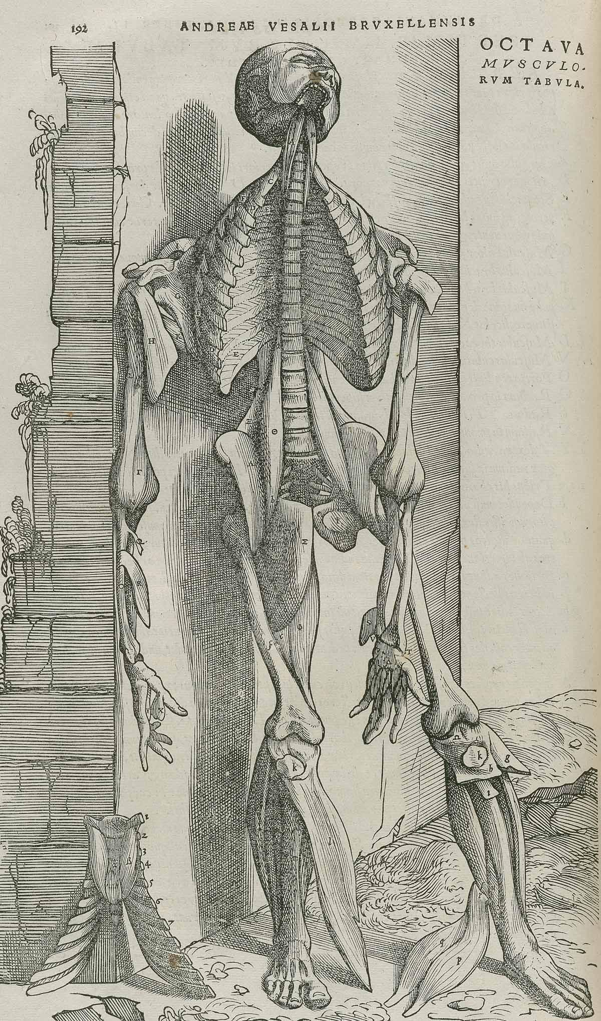 Dream Anatomy: Gallery: Andreas Vesalius: De Humani Corporis Fabrica...