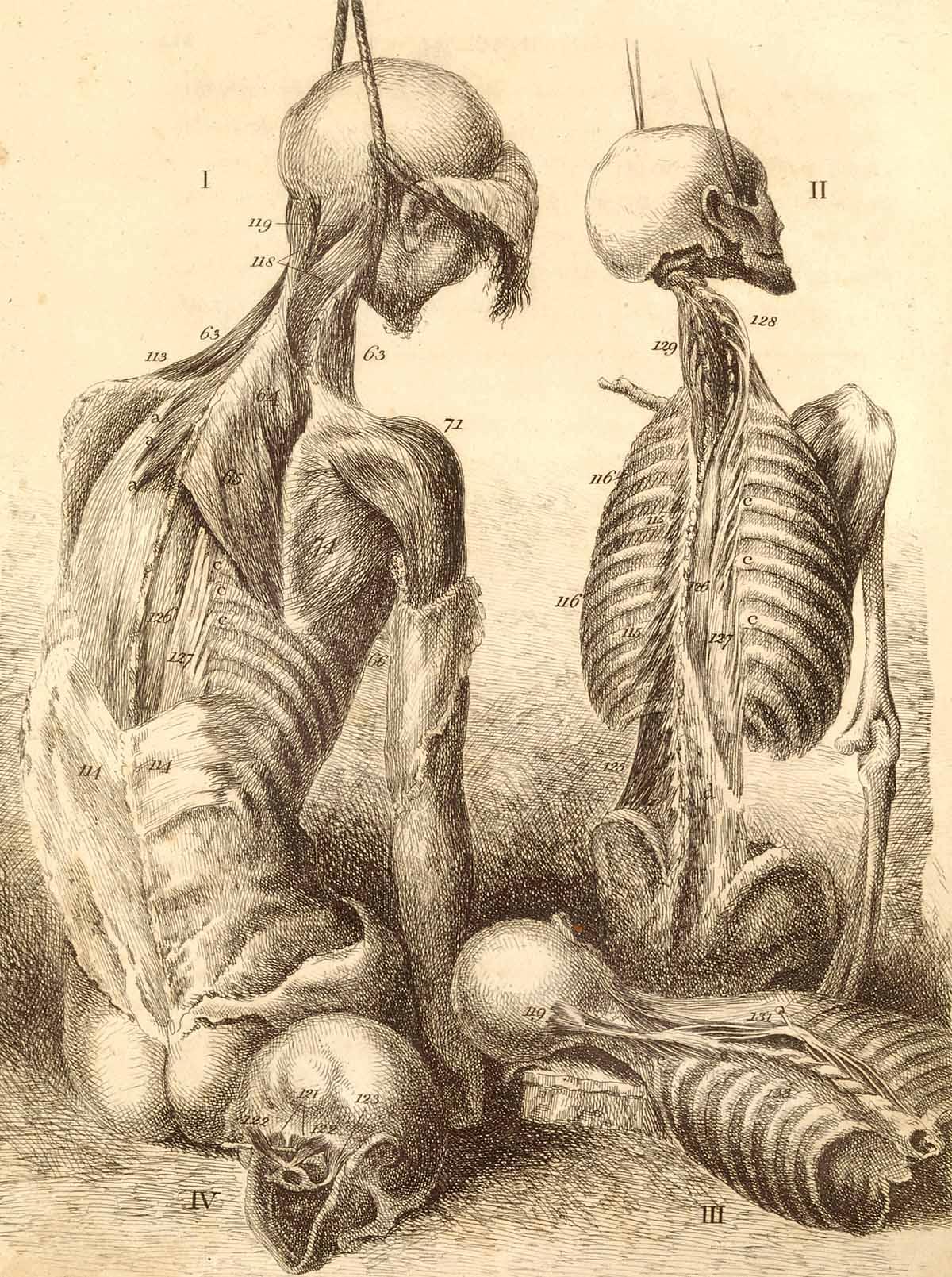 Anatomy Skeleton Drawing Back View of Two Skeletons