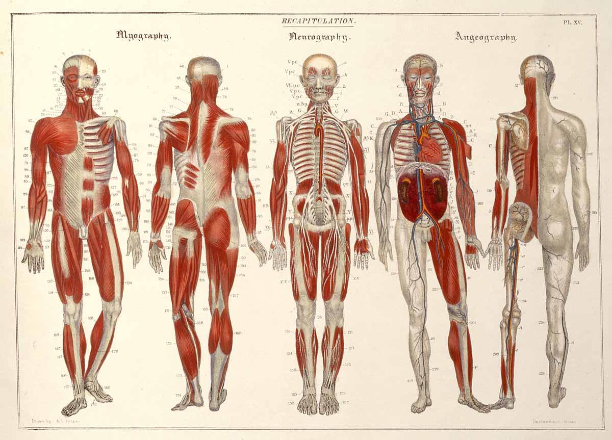 Dream Anatomy: Gallery: Sarlandière and Bisbee: Systematized anatomy
