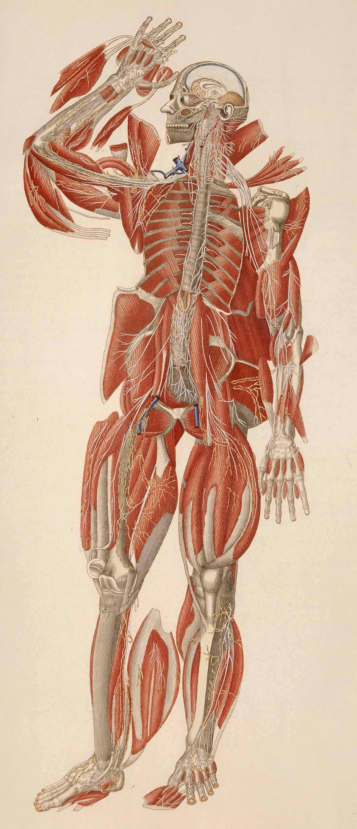 Dream Anatomy: Gallery: Mascagni and Serantoni: Anatomia universale...