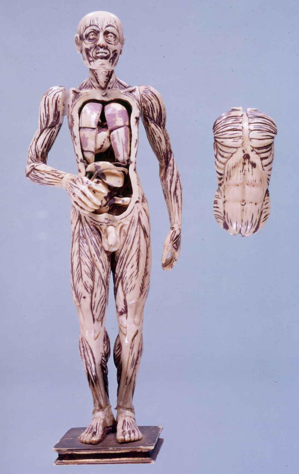 Dream Anatomy: Gallery: Anatomical Manikin 4