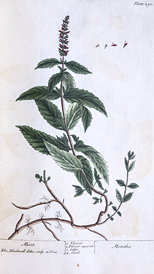 Color illustration of a mint plant.