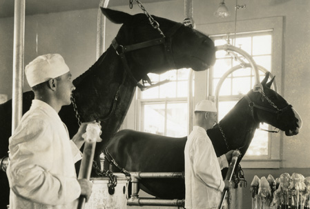 Two men in white suits and caps stands next to two horses secured in metal stalls.  The men hold long glass canisters to collect blood draining from tubing attached to the horses' necks.