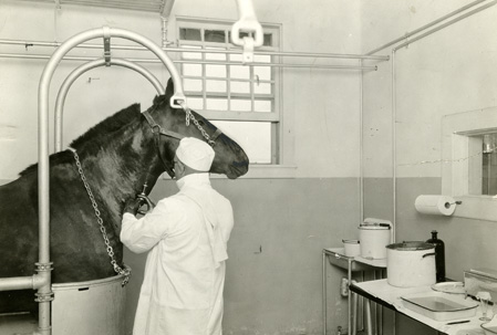 A man in white coat injects toxin into the neck of a horse held in a metal stall.