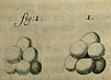 Three black and white drawings of globules of yeast.  Yeast are represented by groups of spheres arranged in small clusters.