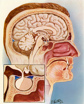 Drawing of a cutaway view of the inside of a human male head in profile.  Inset shows a close up of the pituitary gland and surrounding area.