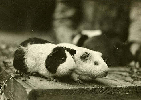 Two guinea pigs on a rough wood surface with a few stalks of alfalfa.