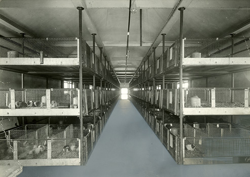 Interior view of room with long rows of wire cages holding guinea pigs.