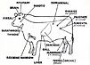 Line drawing of a steer with the locations of its glands labeled.