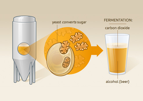Animation on the process of fermentation
