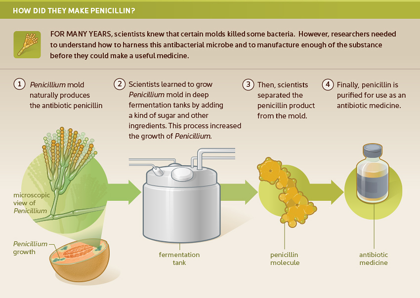 Illustration of how penicillin is made;