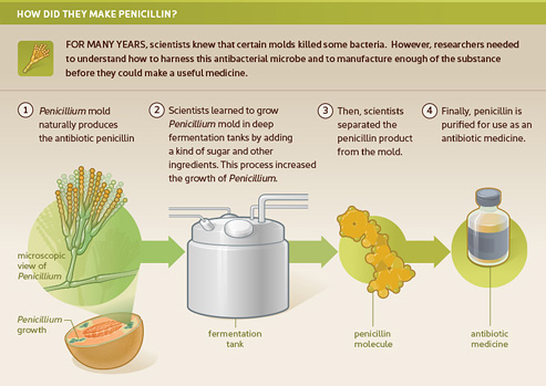 Infographic on how penicillin was made.