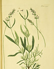 Illustrationof Broad leaved lavender