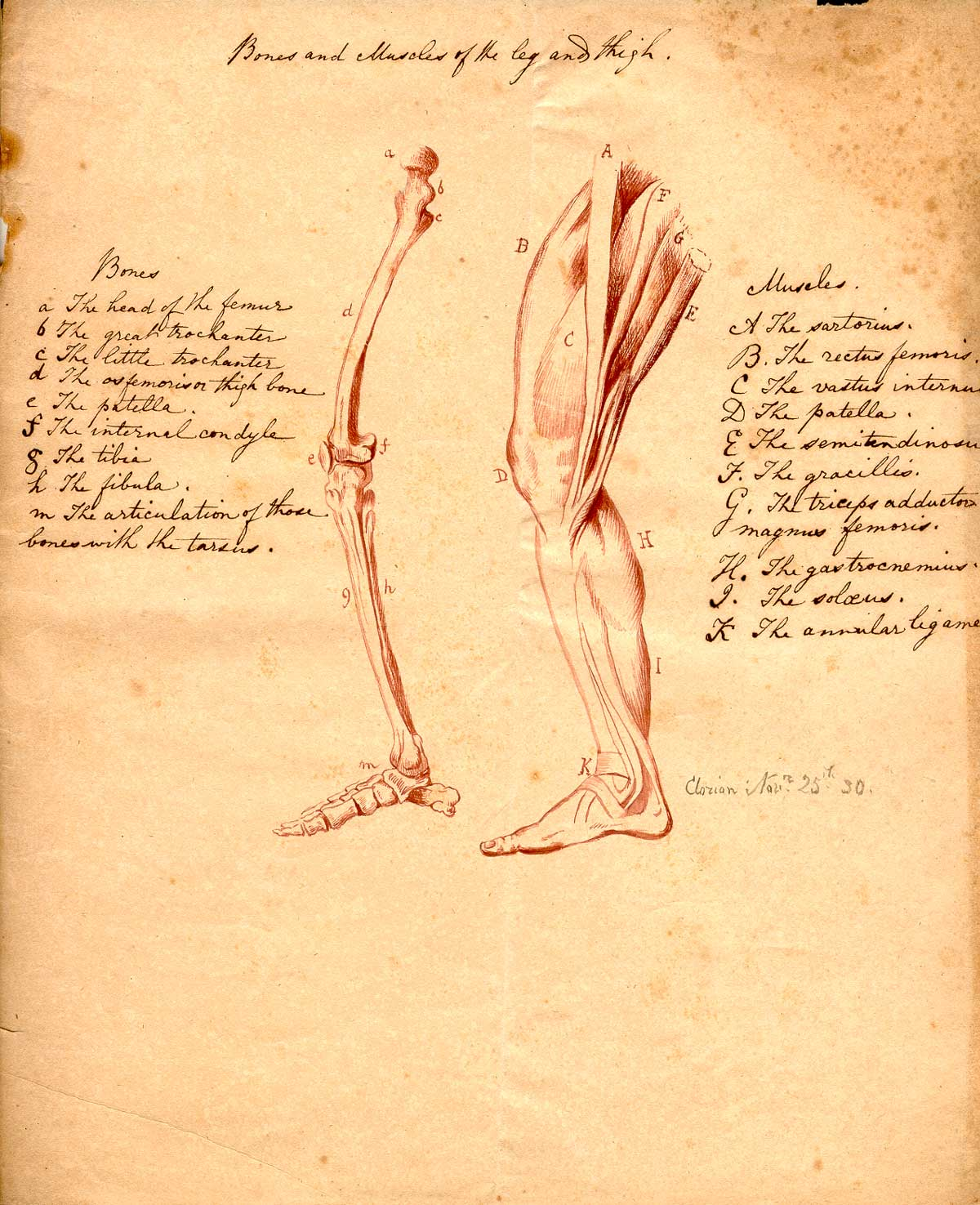 Historical Anatomies On The Web Clorion