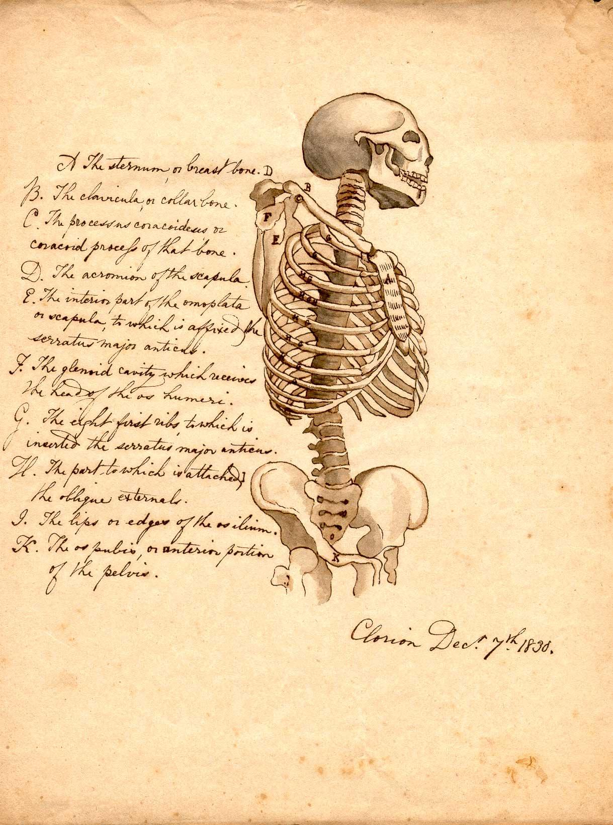 Anatomy Skeleton Drawing Manuscript Drawing of a