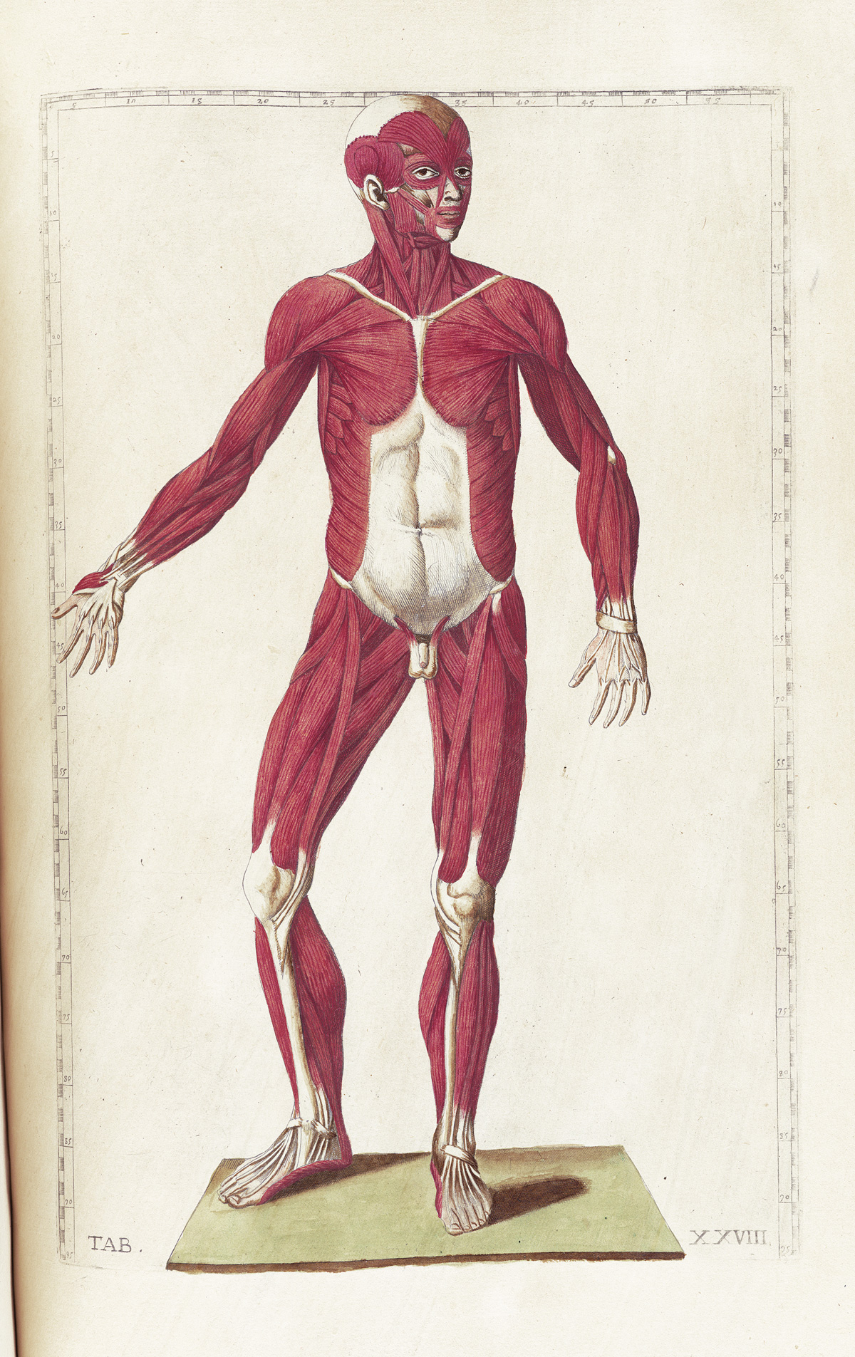 Historical anatomies on the web bartholomeo eustachi home for Table th position relative