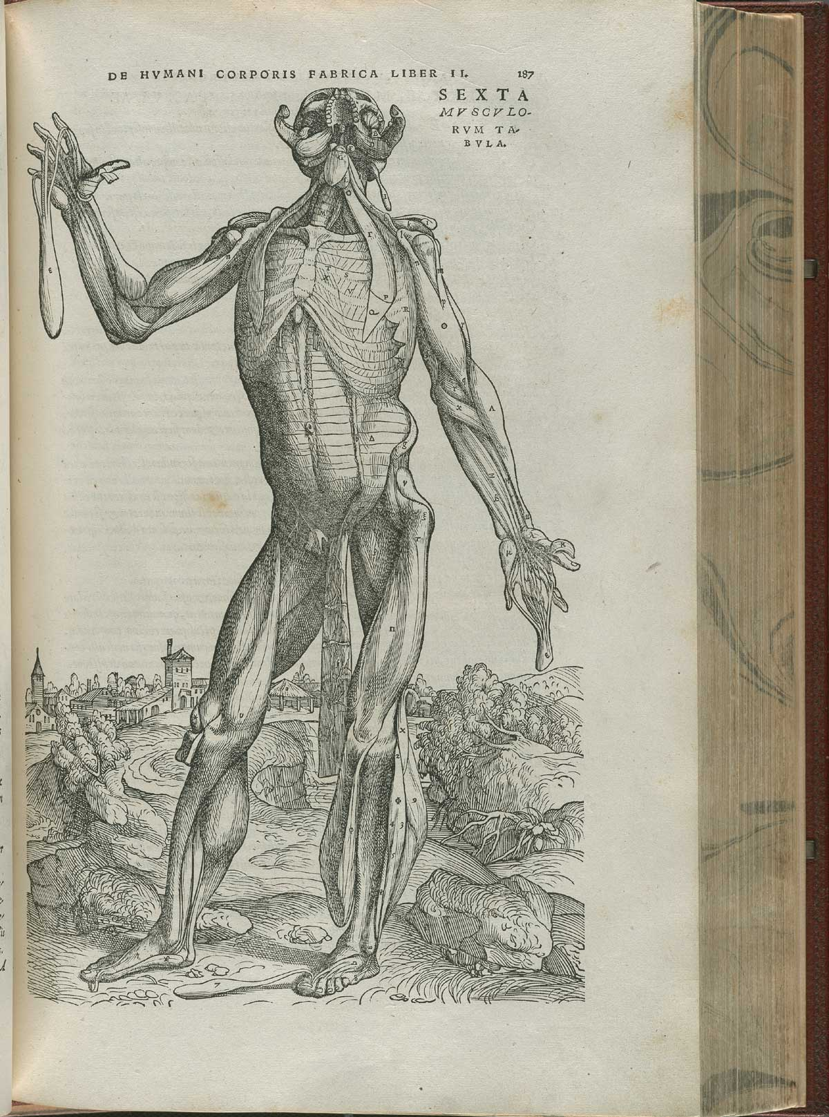 Historical Anatomies On The Web Andreas Vesalius Home Muscle Anatomy Diagram By And Burgers Page 187 Of De Corporis Humani Fabrica Libri Septem Featuring Illustrated