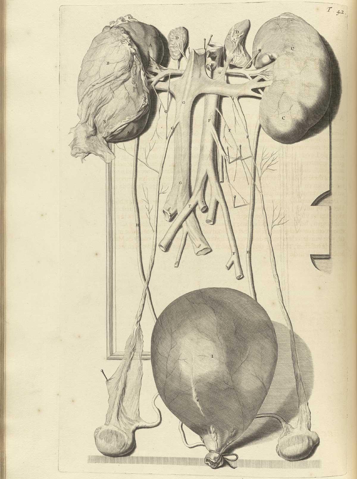 Großzügig Anatomie Des Vestibulären Systems Zeitgenössisch ...