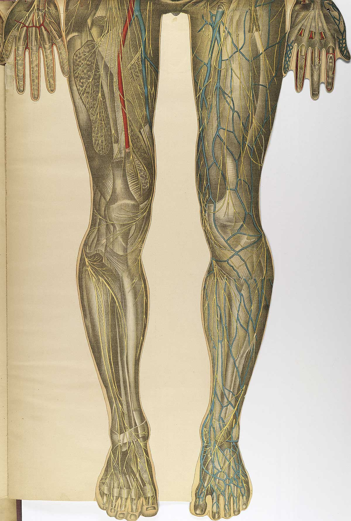 Vicon besides Cns Lg furthermore Evkvu Agy K Ym Dayia V Jugularis Interna Dextra also  moreover Bougle Bottom. on about the human body system