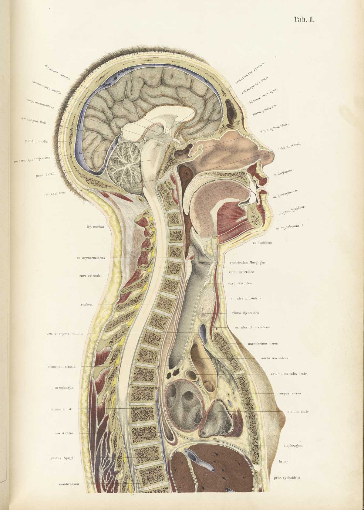 Historical Anatomies on the Web: Wilhelm Braune Home