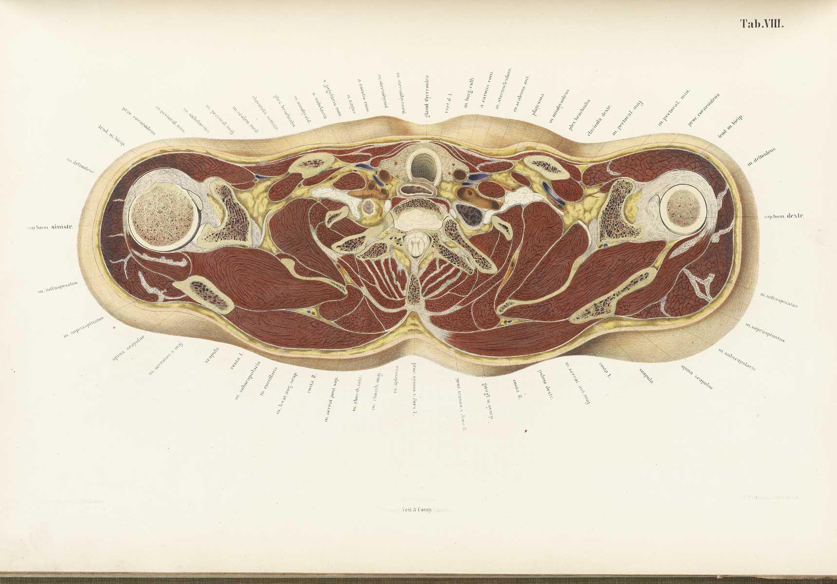 http://www.nlm.nih.gov/exhibition/historicalanatomies/Images/1200_pixels/braune08.jpg