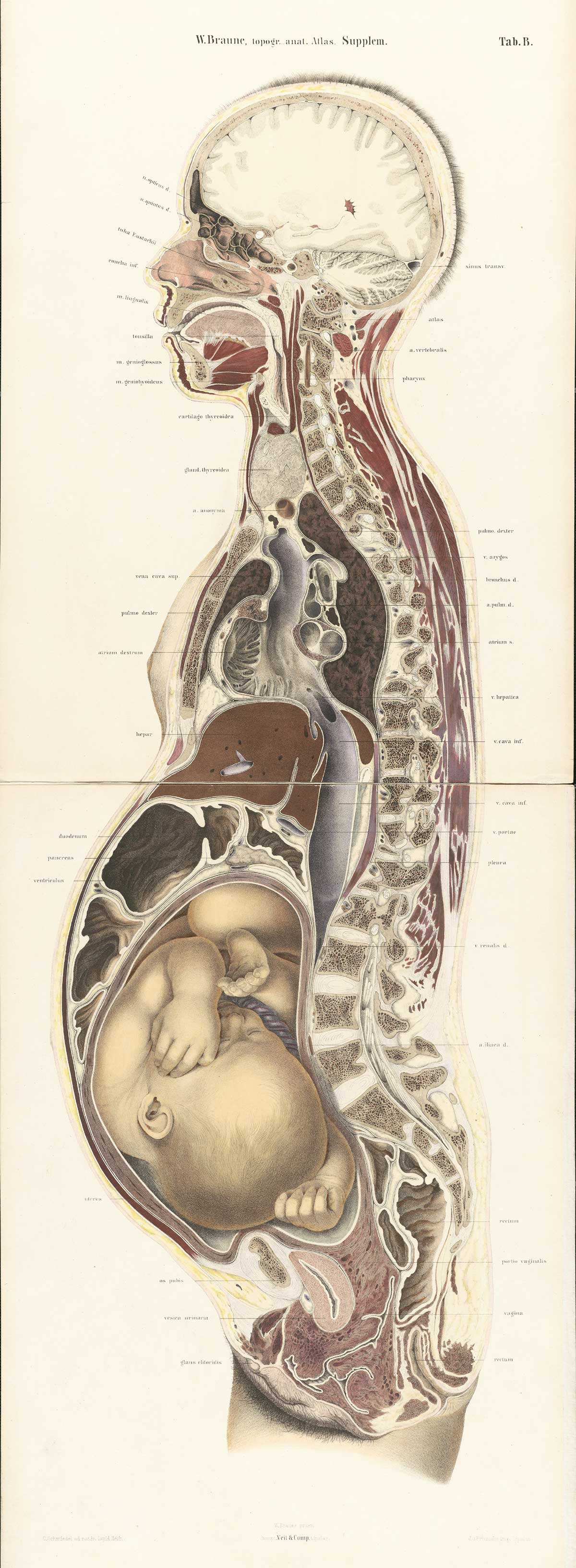 Human pregnant female anatomy