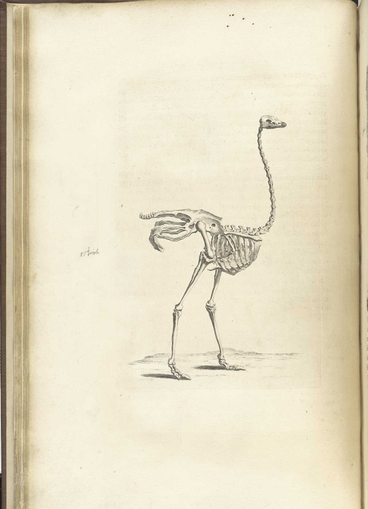 ostrich skeleton, from william cheselden's osteographia, nlm call no : wz  260 c499o