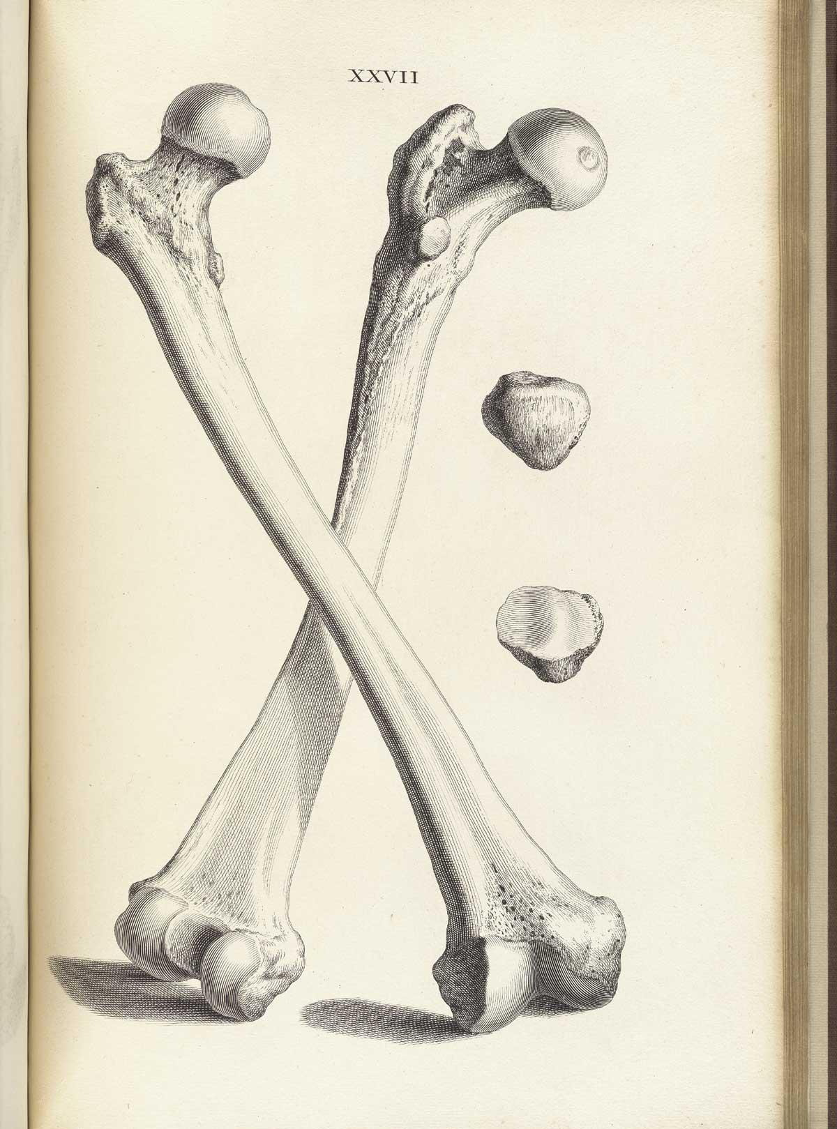 Human Femur Femur bone two femur bones