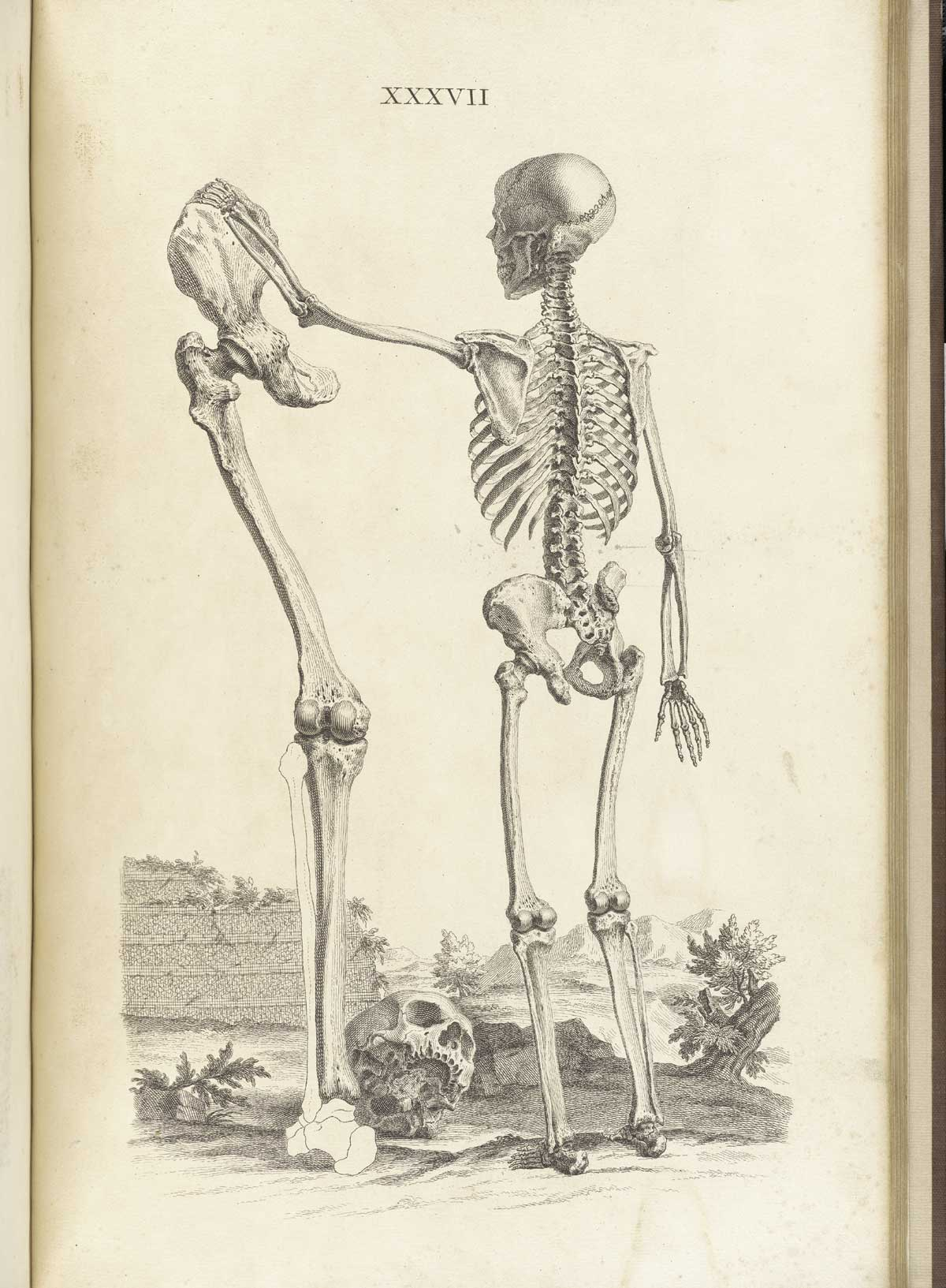 Historical Anatomies On The Web William Cheselden Home Chicken Leg Dissection Diagram For Pinterest Engraving Of Standing Skeleton Facing Away From Viewer In A Pastoral Setting With Its Right