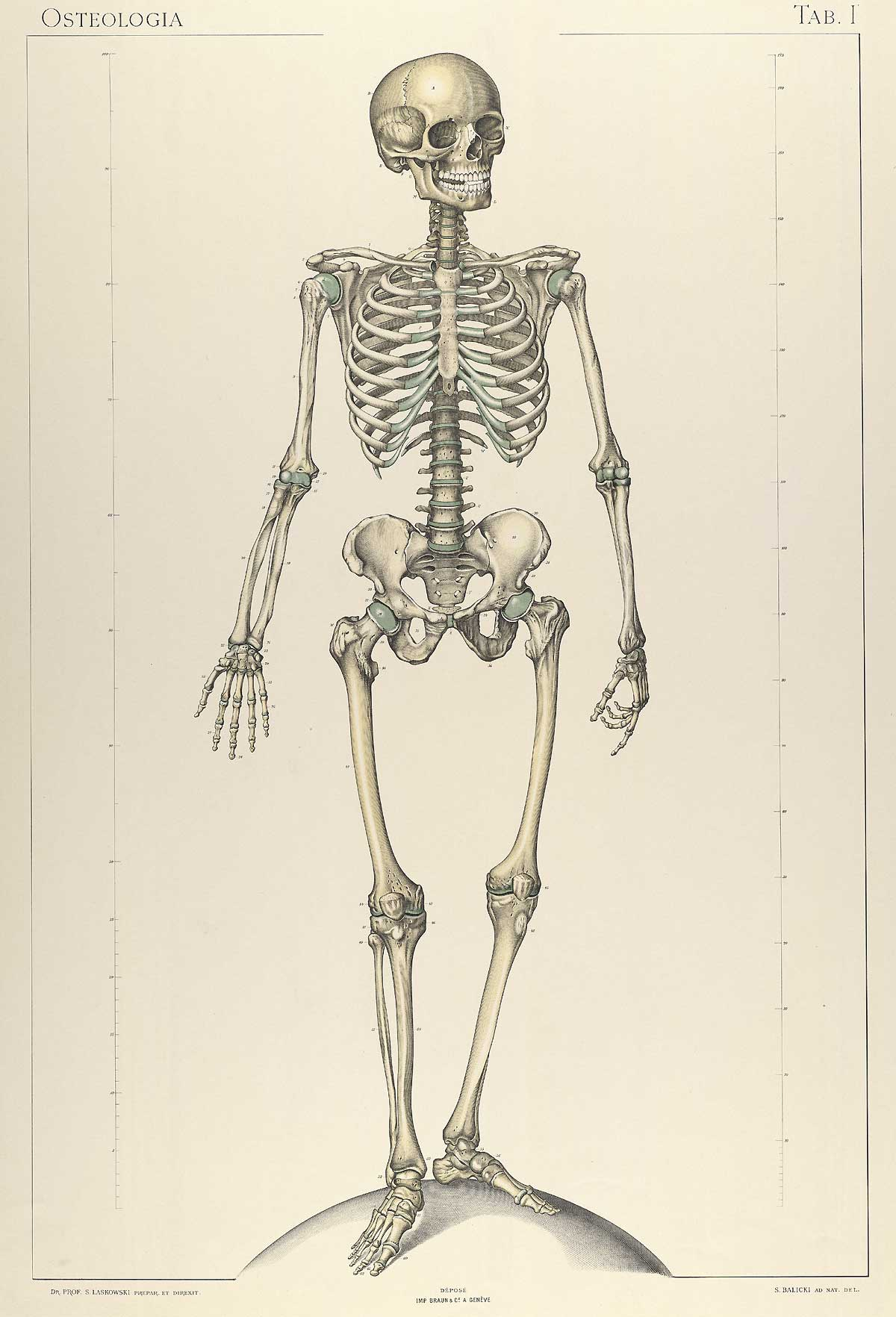 Historical anatomies on the web sigismond laskowski home for Interieur du corps humain image