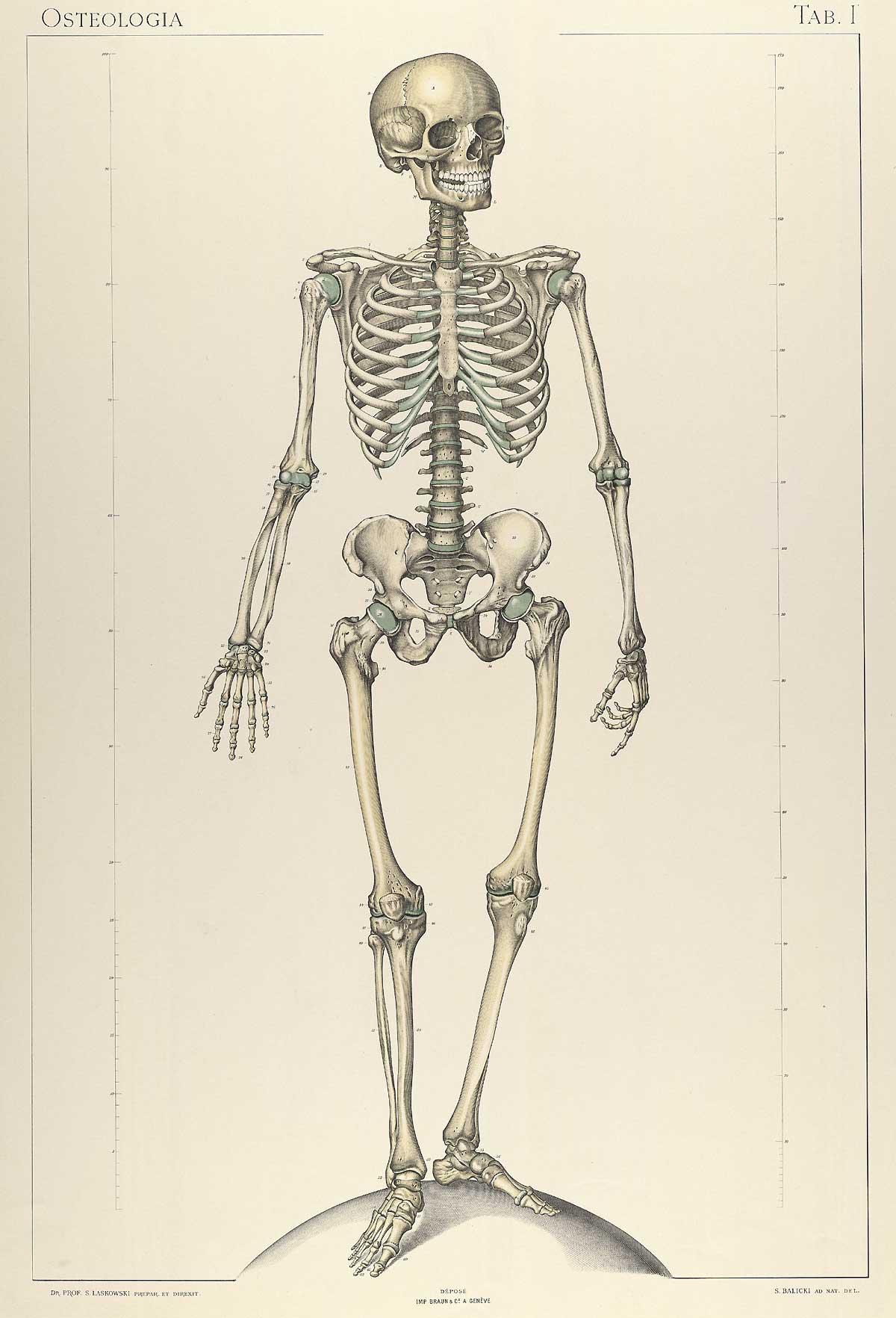 Anatomie Image historical anatomies on the web: sigismond laskowski home