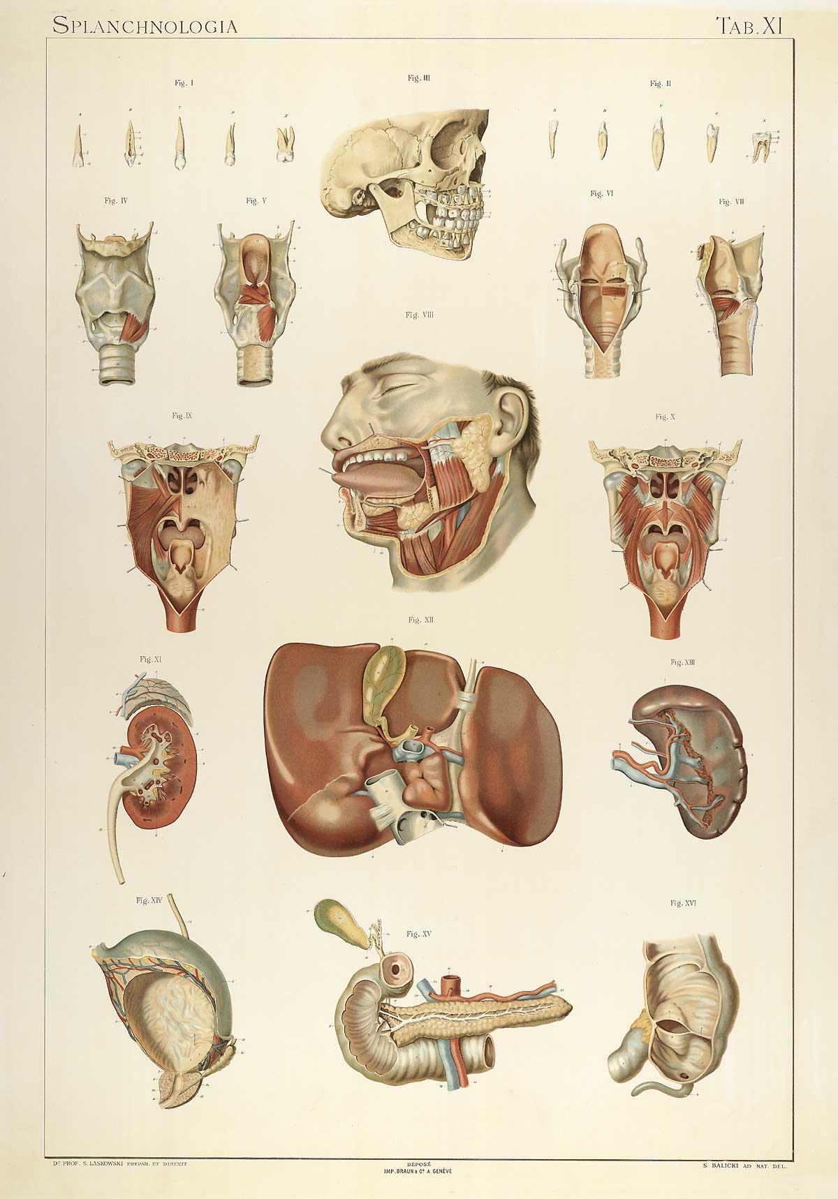 Historical anatomies on the web sigismond laskowski home for Interieur du corps humain photo