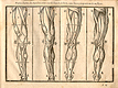 Wiidcut illustration of four images of the musculature of the legs viewed from different angles- front, back, sides- with measured proportions of each shown, from Jehan Cousin's Livre de pourtraiture, NLM Call no.: WZ 250 C8673L 1608.