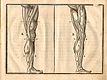 Woodcut illustration of two images of the musculature of the legs viewed from the inside and outside, with measured proportions of each shown, from Jehan Cousin's Livre de pourtraiture, NLM Call no.: WZ 250 C8673L 1608.