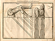 Woodcut illustration of three images of the musculature of the legs with bent knees viewed from the side and above, with measured proportions of each shown, from Jehan Cousin's Livre de pourtraiture, NLM Call no.: WZ 250 C8673L 1608.
