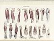 Plate [7] of Jean-Baptiste Sarlandière's Anatomie méthodique, ou Organographie humaine en tableaux synoptiques, avec figures, featuring the myographie or muscles of the lower body.