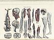 Plate [12] of Jean-Baptiste Sarlandière's Anatomie méthodique, ou Organographie humaine en tableaux synoptiques, avec figures, featuring the angeiographie or blood vessels throughout the body.