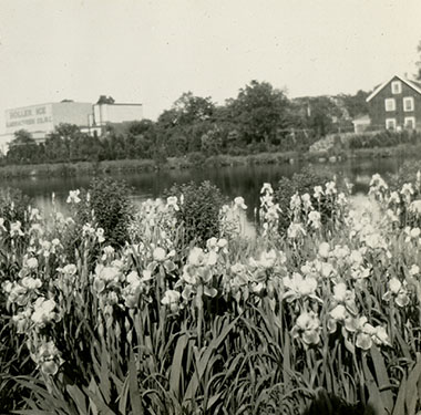 Irises in blooming in front of a pond, warehouse and home across the pond in the background.