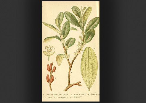Scientific drawing of the plant Erythroxylon coca (coca(.