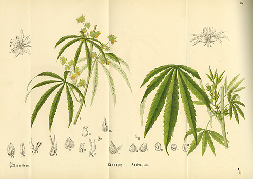 Weed Plant Cartoon Drawings Scientific drawing of the