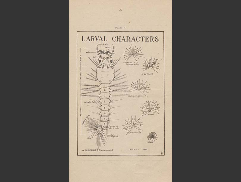Illustrations of mosquito wings and larvae in a book