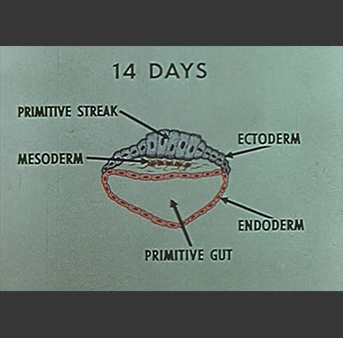 Illustration of embryonic development at 14 days