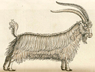 A standing goat with two large horns