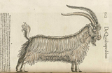 Drawing of a goat