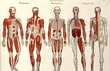 Series of drawings of musculature in a human figure