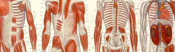 Drawing of human musculature