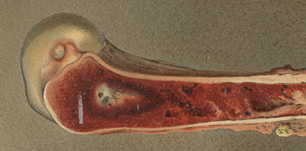 Drawing of a cross-section of a bone