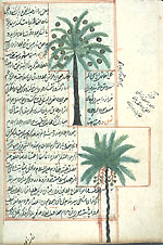 Folio 168b of of Zakarīyā' ibn Muḥammad al-Qazwīnī's 'Ajā'ib al-makhlūqāt wa-gharā'ib al-mawjūdāt  (Marvels of Things Created and Miraculous Aspects of Things Existing) featuring two types of palm trees drawn in opaque watercolors and ink within the text. The thin, fragile, beige paper has indistinct vertical laid lines. The text is written in a rather casual ta'liq script with a tendancy toward naskh, using black ink with headings in red and red overlinings. The text is written within frames of double red lines, with some rectangular areas framed in single red lines and extending into the margins.